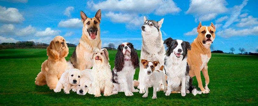 perros - Los perros entienden más de 150 palabras y pueden 'contar'