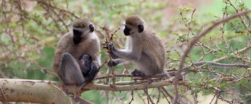 monos vervet - El Ejército de Estados Unidos experimenta con monos vervet